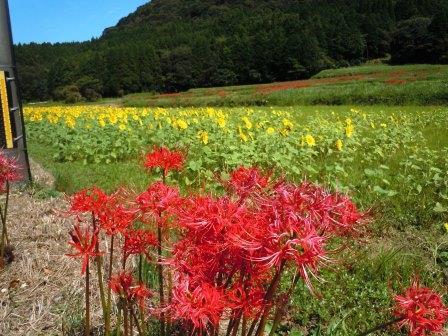 彼岸花とひまわり畑2(2020-09-28)