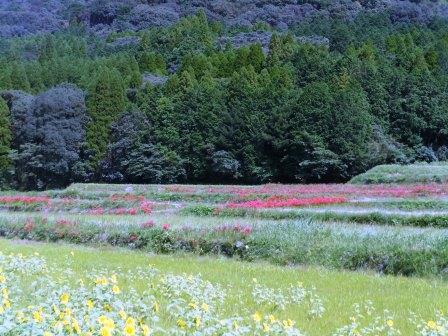 彼岸花とひまわり畑3(2020-09-28)遠景