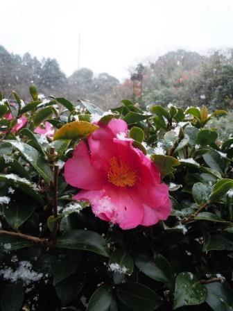 初雪山茶花6(2020-12-15)タテ