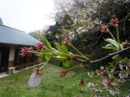 葉桜1(2020-04-03)