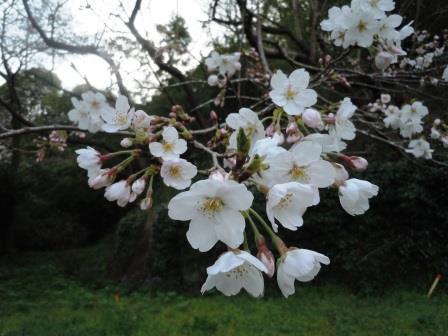 桜1(2020-03-23)
