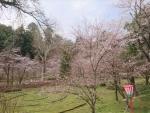 船岡園の桜