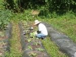 白菜の定植