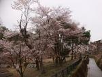 船岡公園の桜