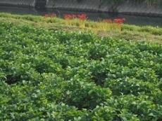 ブログ1大豆畑