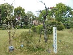 ブログ36秋篠宮殿下お手植えの梅