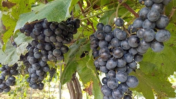 20200905_謎の葡萄