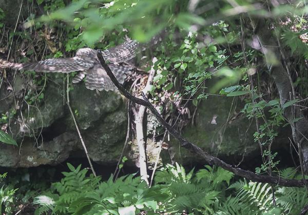200530フクロウ-20