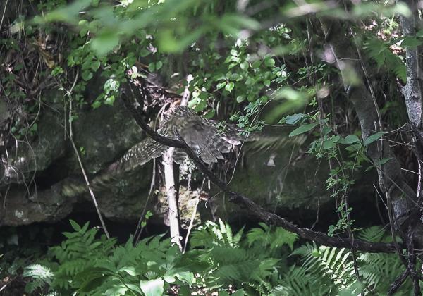 200530フクロウ-19