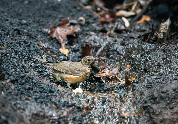 200819アカハラ幼鳥-2