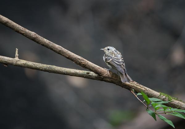 200819キビタキ幼鳥-11