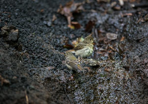 200819キビタキ幼鳥-7