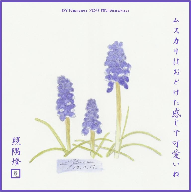 200317ムスカリLRG