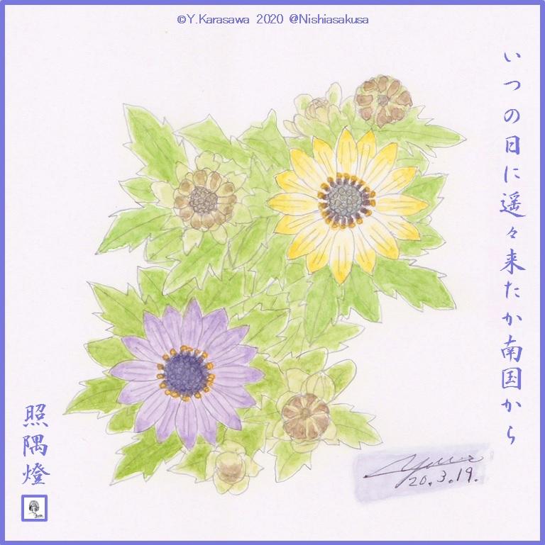 200319ディモルフォセカLRG