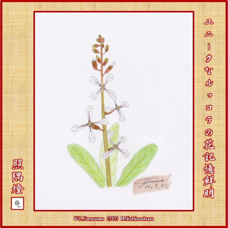200321ルッコラの花LRG