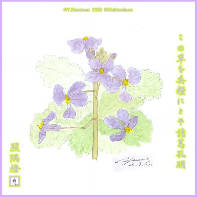 200329紫花菜LRG