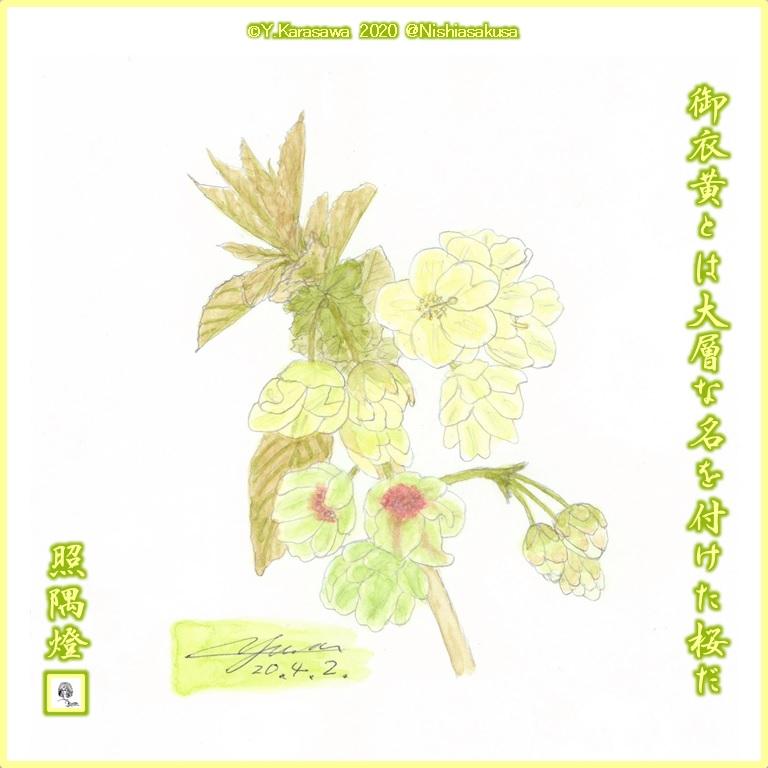 2004021御衣黄桜LRG
