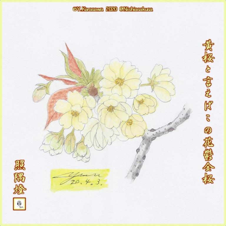 200403鬱金桜LRG
