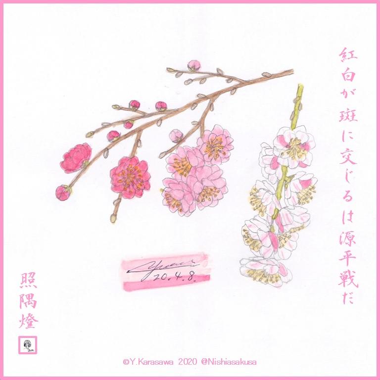 200408源平枝垂桃LRG