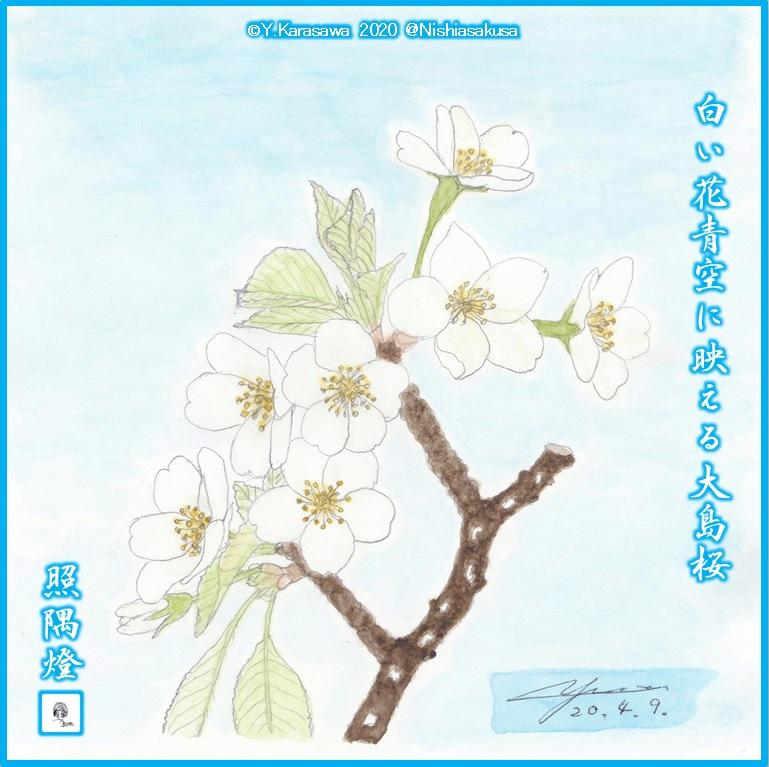 200409大島桜LRG