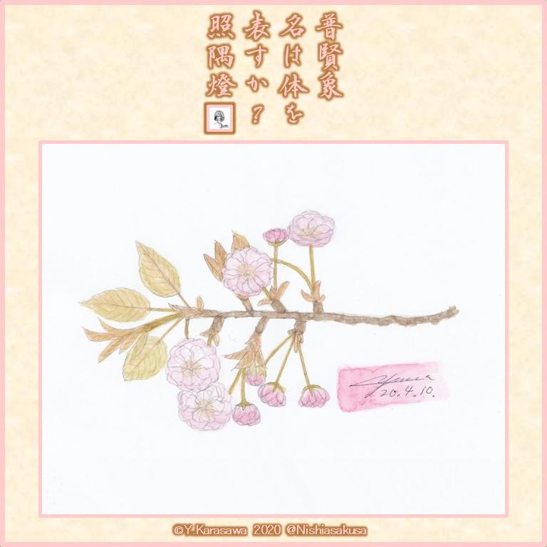 200410八重桜普賢象LRG