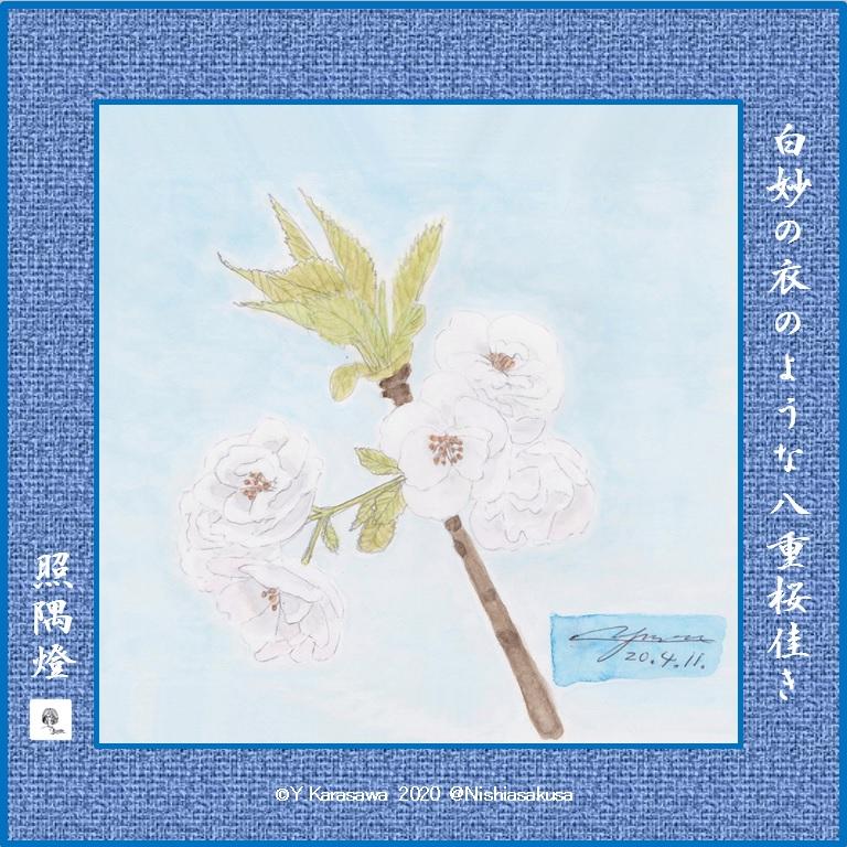 200411八重桜白妙LRG