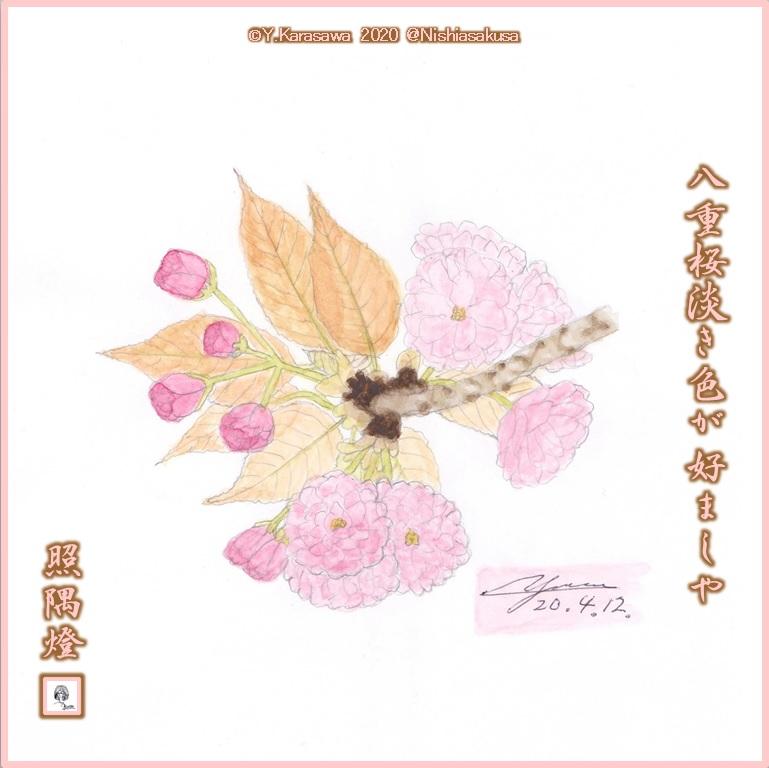 200412八重桜薄紅LRG