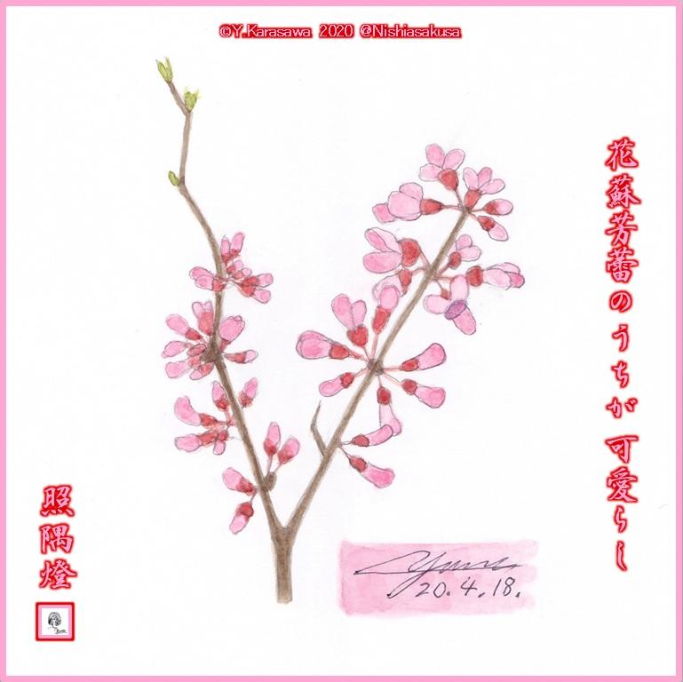 200418花蘇芳LRG