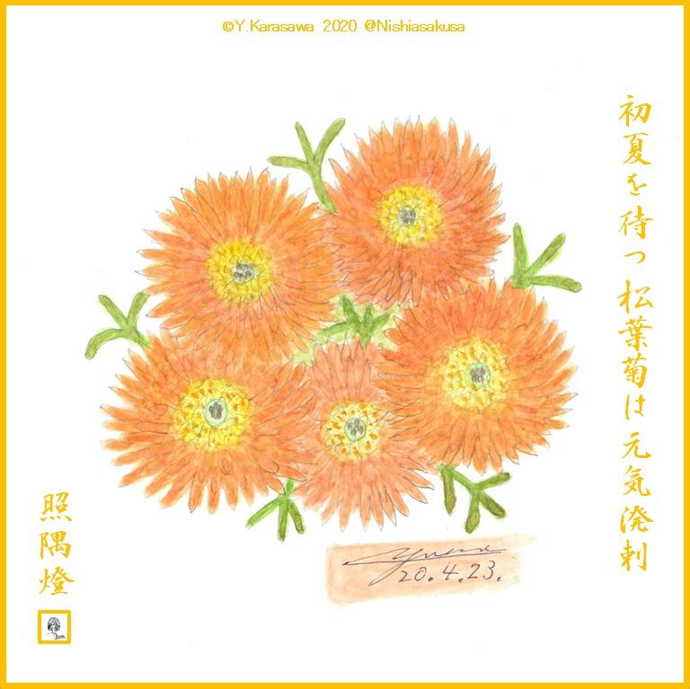 200423松葉菊朱色LRG