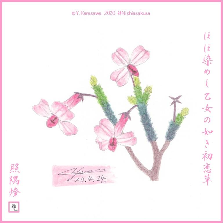 200424初恋草LRG