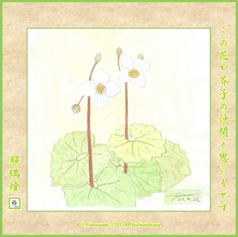 200426白雪芥子LRG