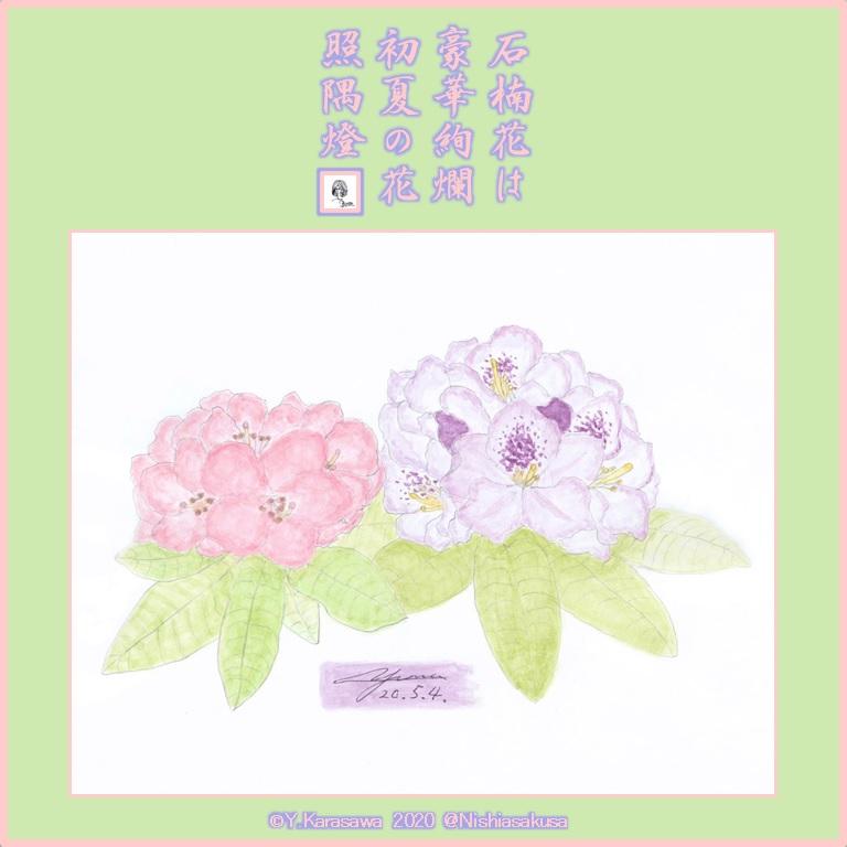 200504石楠花2種LRG