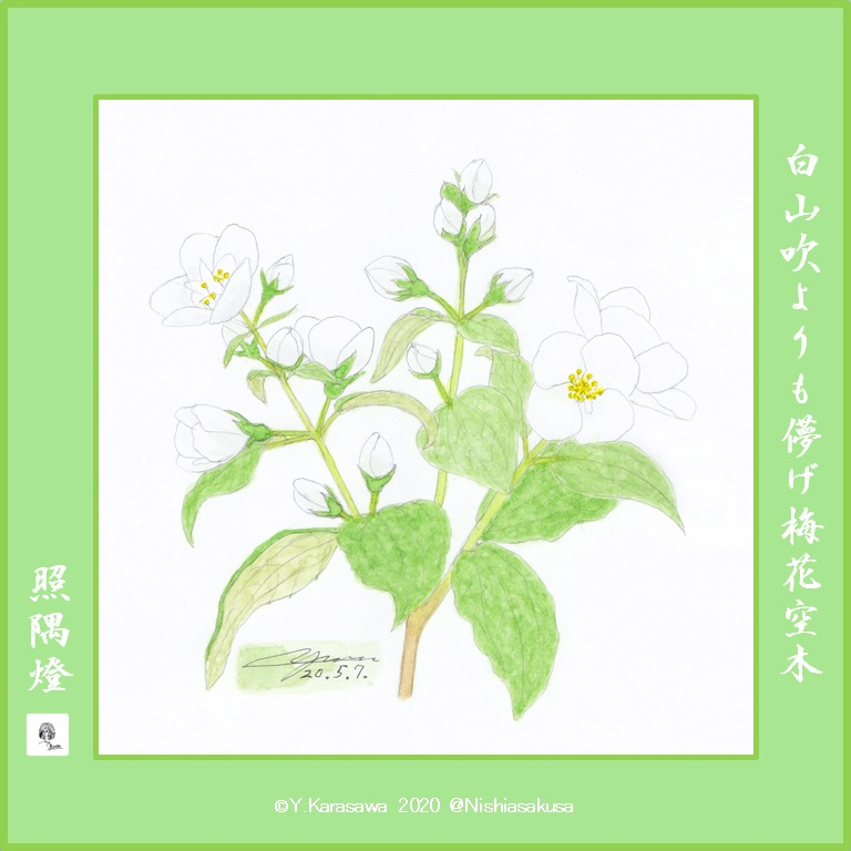 200507梅花空木LRG