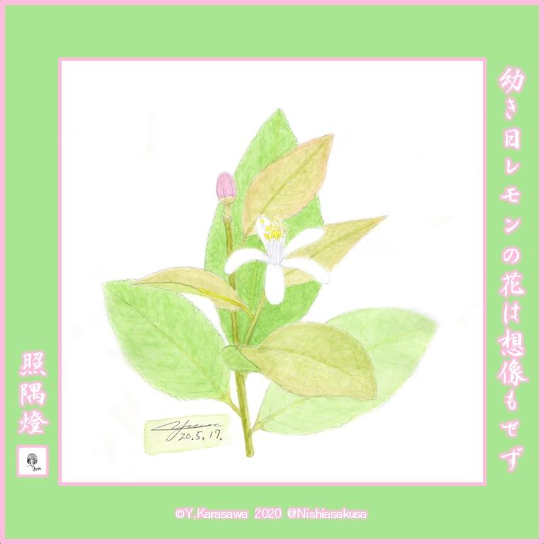 200517レモンの花LRG