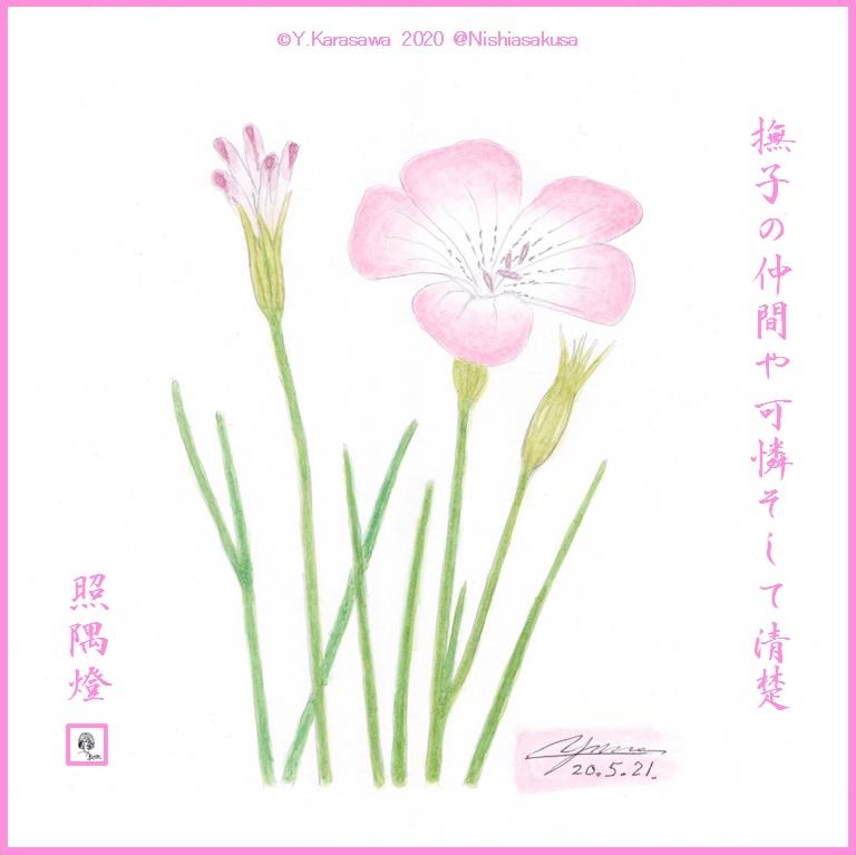 200521麦仙翁LRG