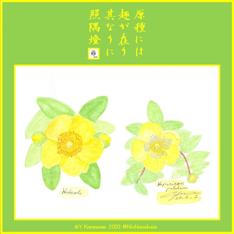200602金糸梅と園芸種LRG