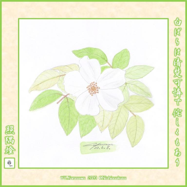 200608一重の白薔薇LRG