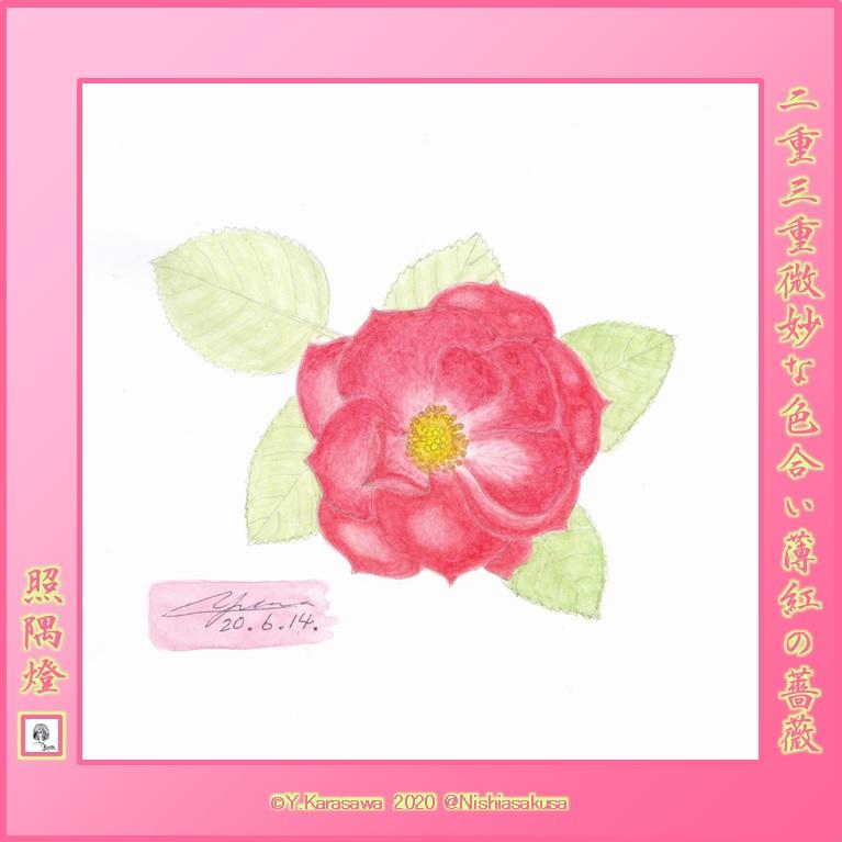 200614薄紅色の二重の薔薇LRG