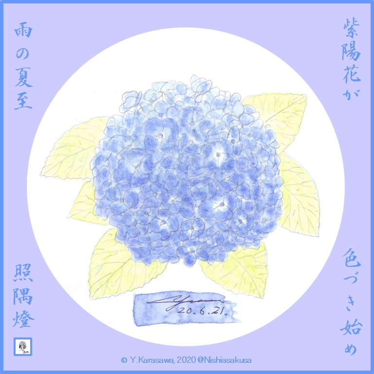 200621我が家の紫陽花初期LRG