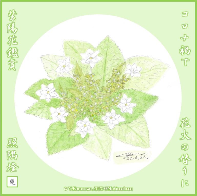 200622紫陽花墨田の花火LRG
