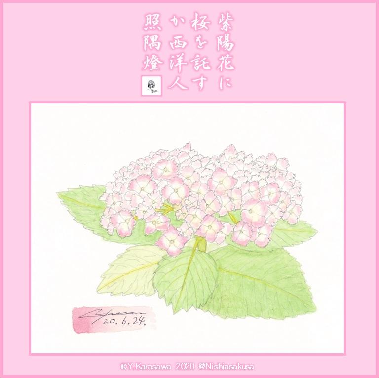 200624桜色の西洋紫陽花LRG
