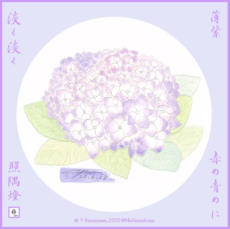 200628薄紫の紫陽花LRG