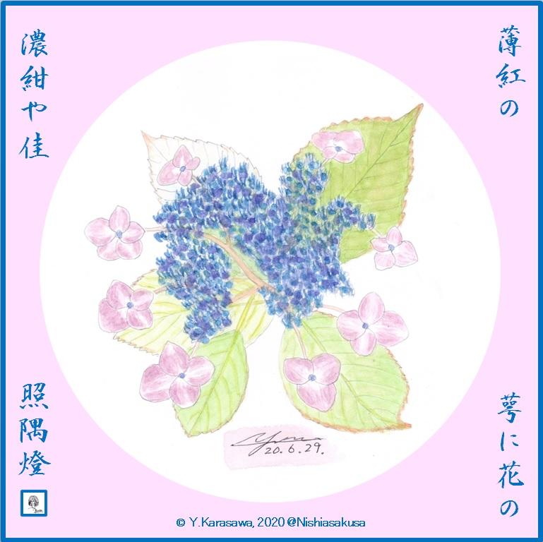 200629萼紫陽花薄紅に濃紺芯LRG