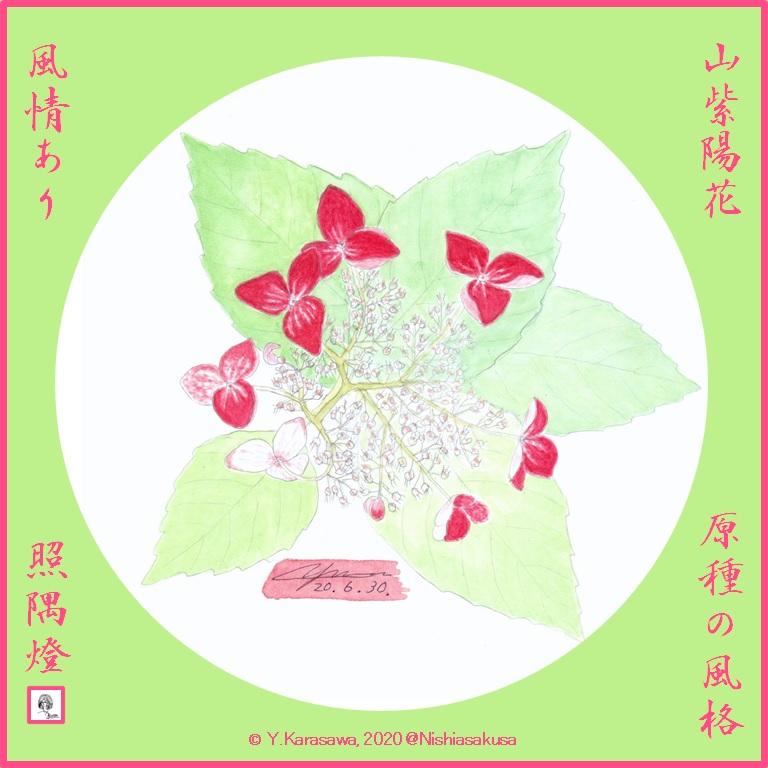 200630山紫陽花LRG