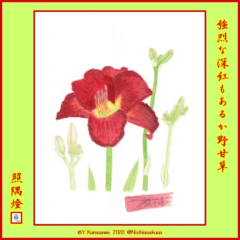 200713野甘草深紅LRG