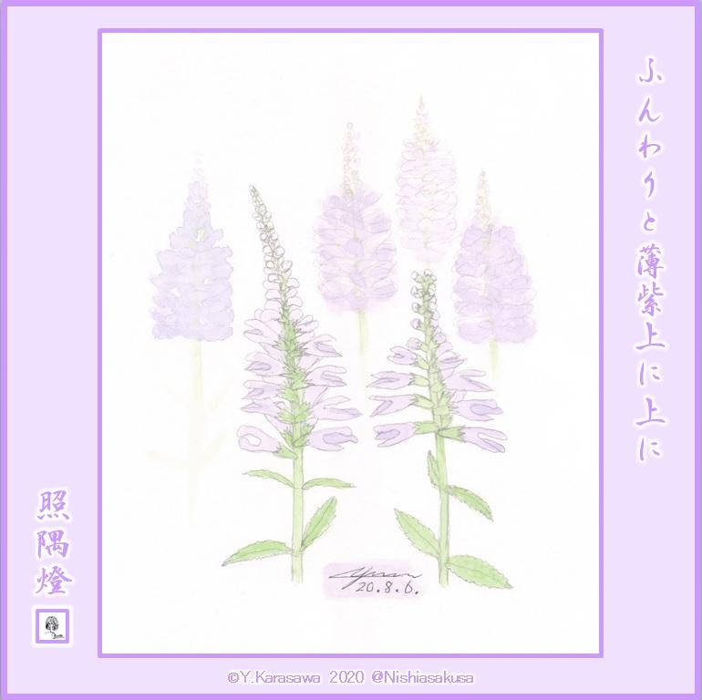 200806薄紫の花虎の尾LRG