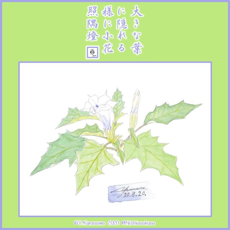 200820洋種朝鮮朝顔LRG