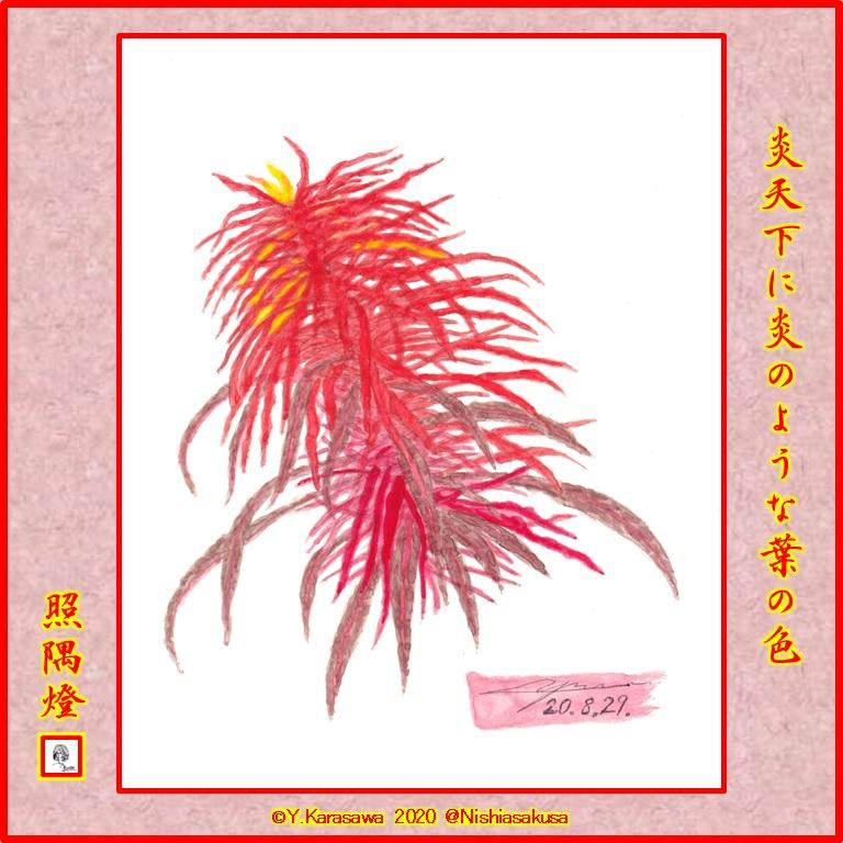 200829葉鶏頭赤LRG
