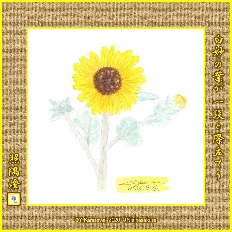 200904白妙向日葵LRG