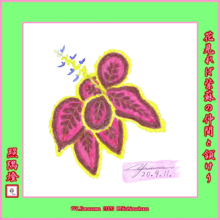 200911コリウス桃色と焦げ茶に黄緑の縁LRG